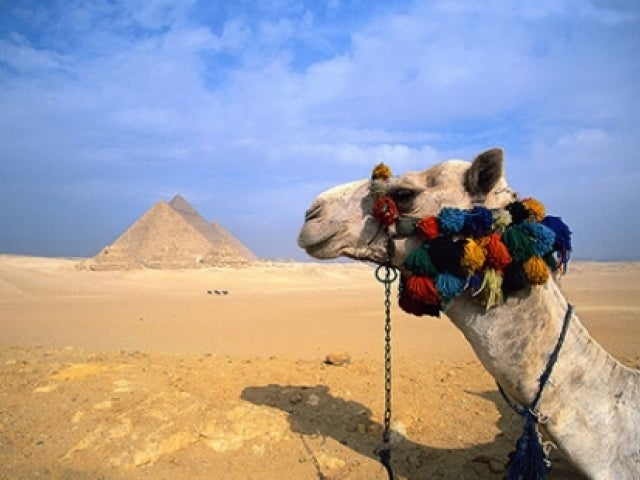 Camel with pom poms