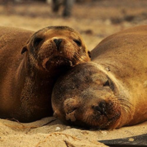 Seals resting