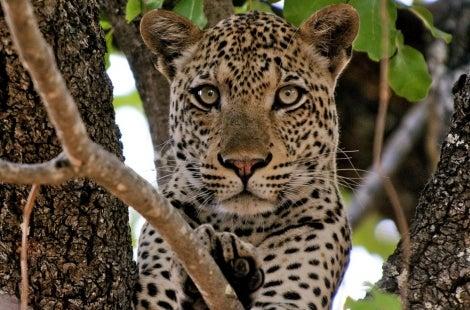 South Luangwa Leopard