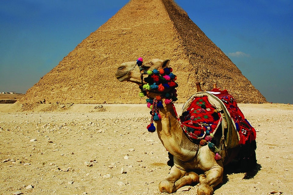 camel sitting in front of pyramid