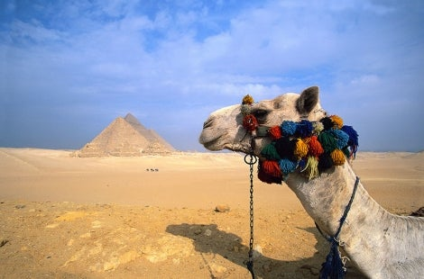 camel in front of pyaramid